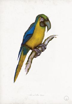 Blue-and-Yellow Macaw - artist signed print